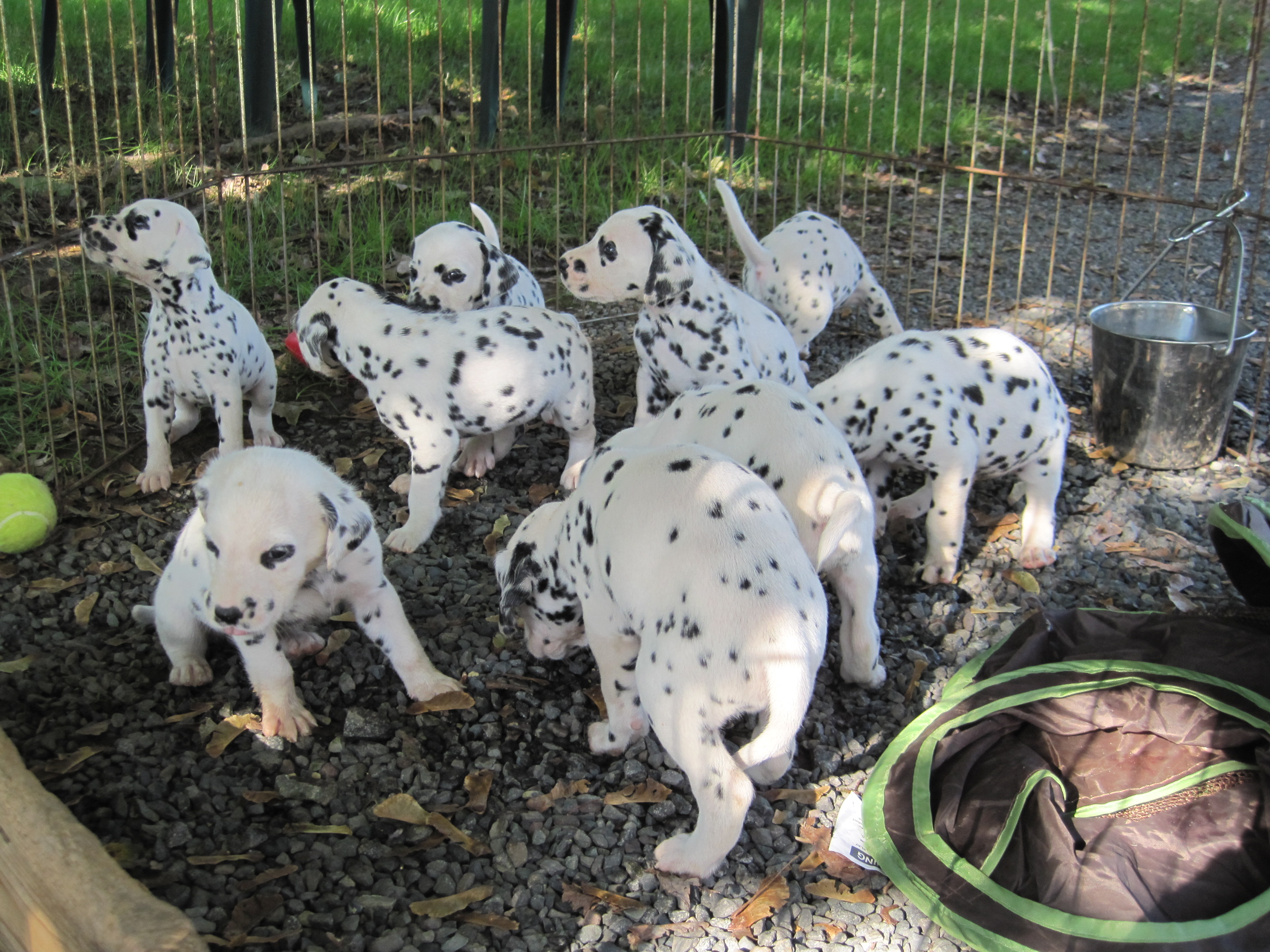 Dalmatian Puppies - Everything About Dalmatians