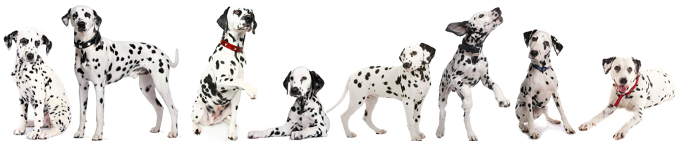 Everything About Dalmatians - Your Go To SPOT