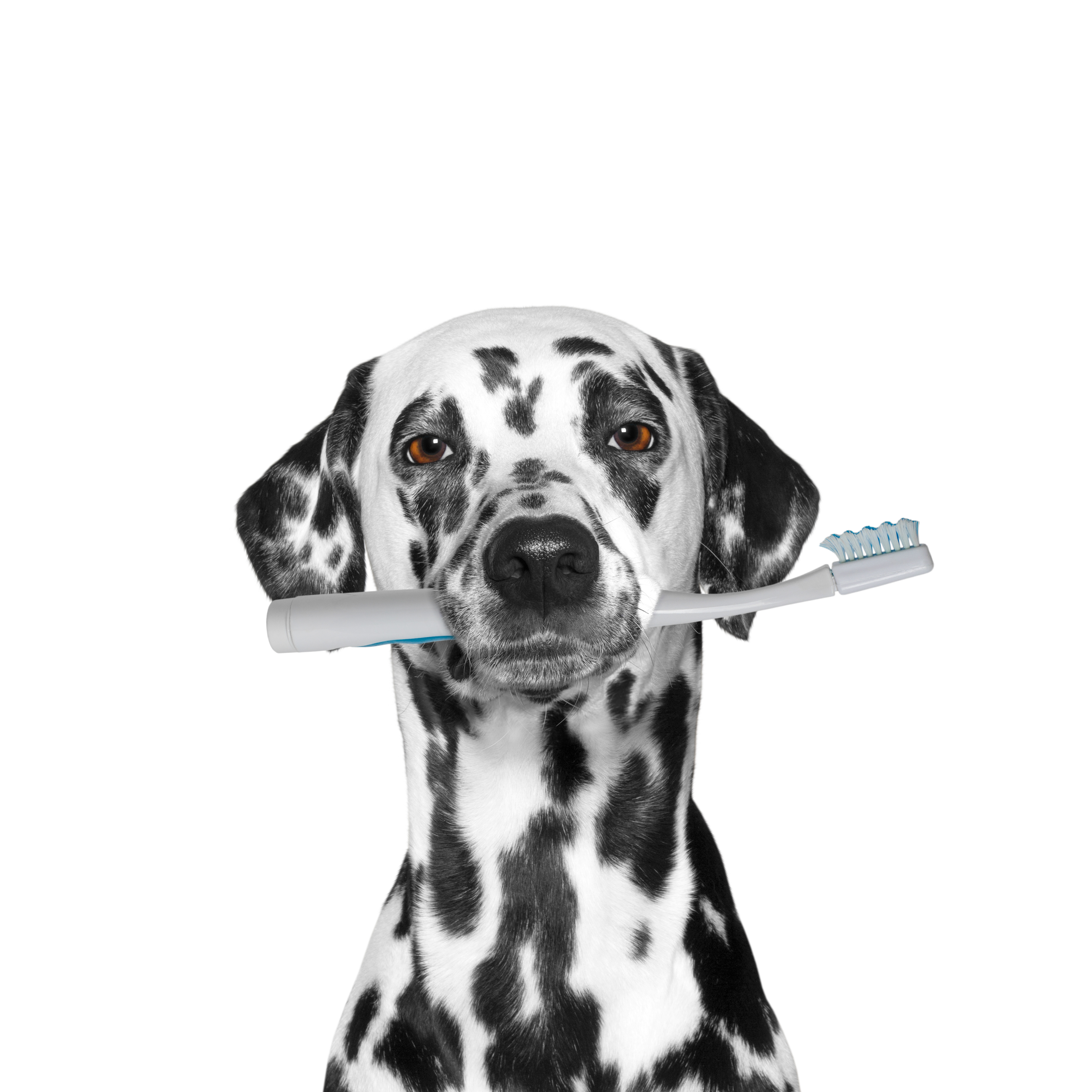 Everything About Dalmatians